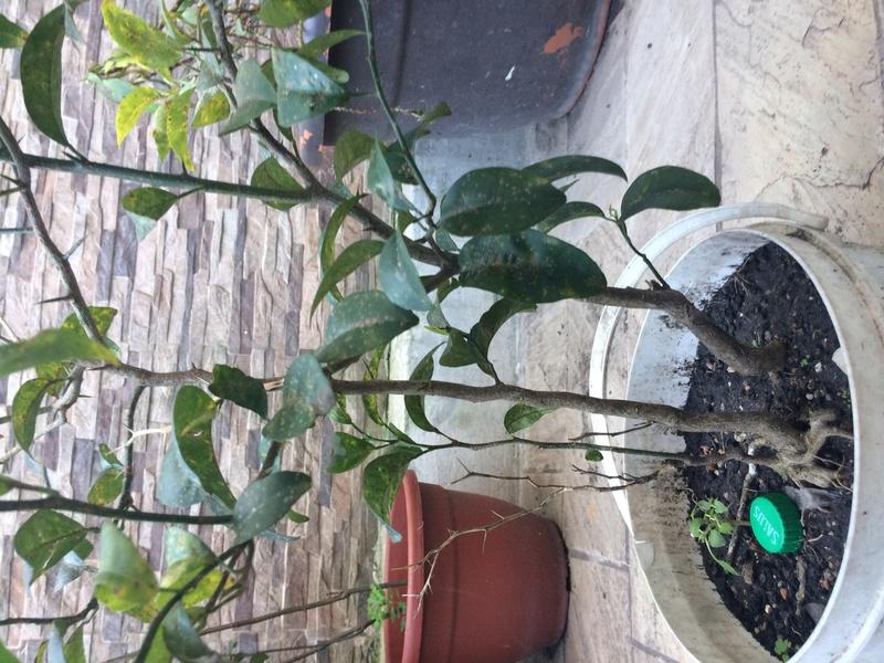 Mandarinos prebonsais Img_0812