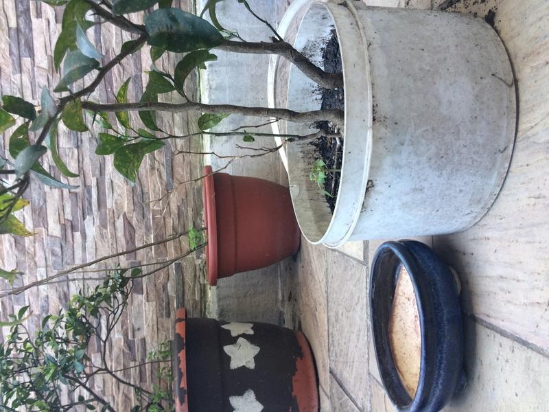 Mandarinos prebonsais Img_0817