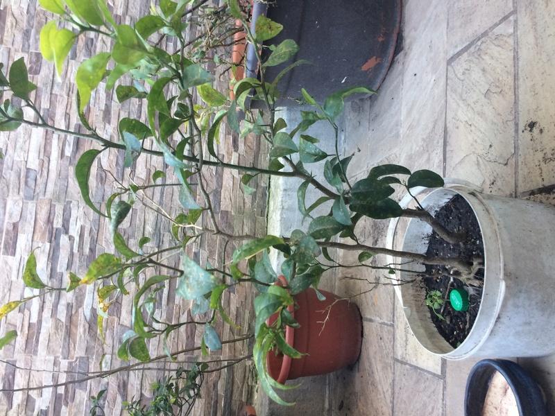 Mandarinos prebonsais Img_0822