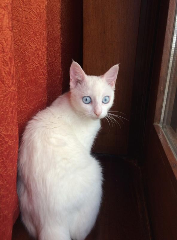 Ολόλευκο γατάκι 3,5 μηνών  Img_6115