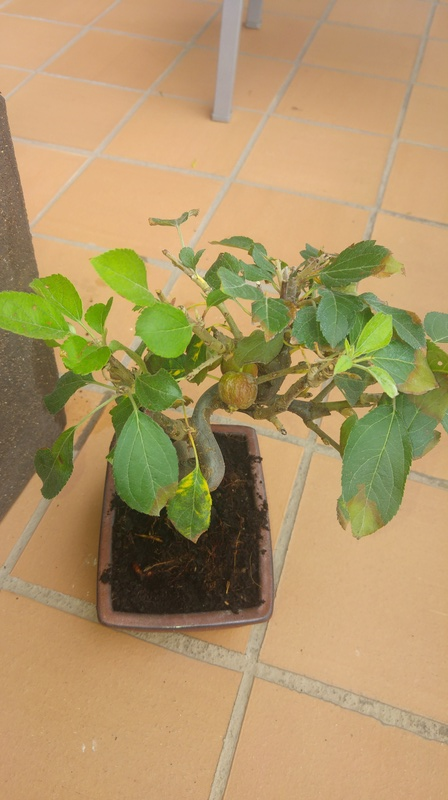 Ayuda bonsai malus sp 20171012