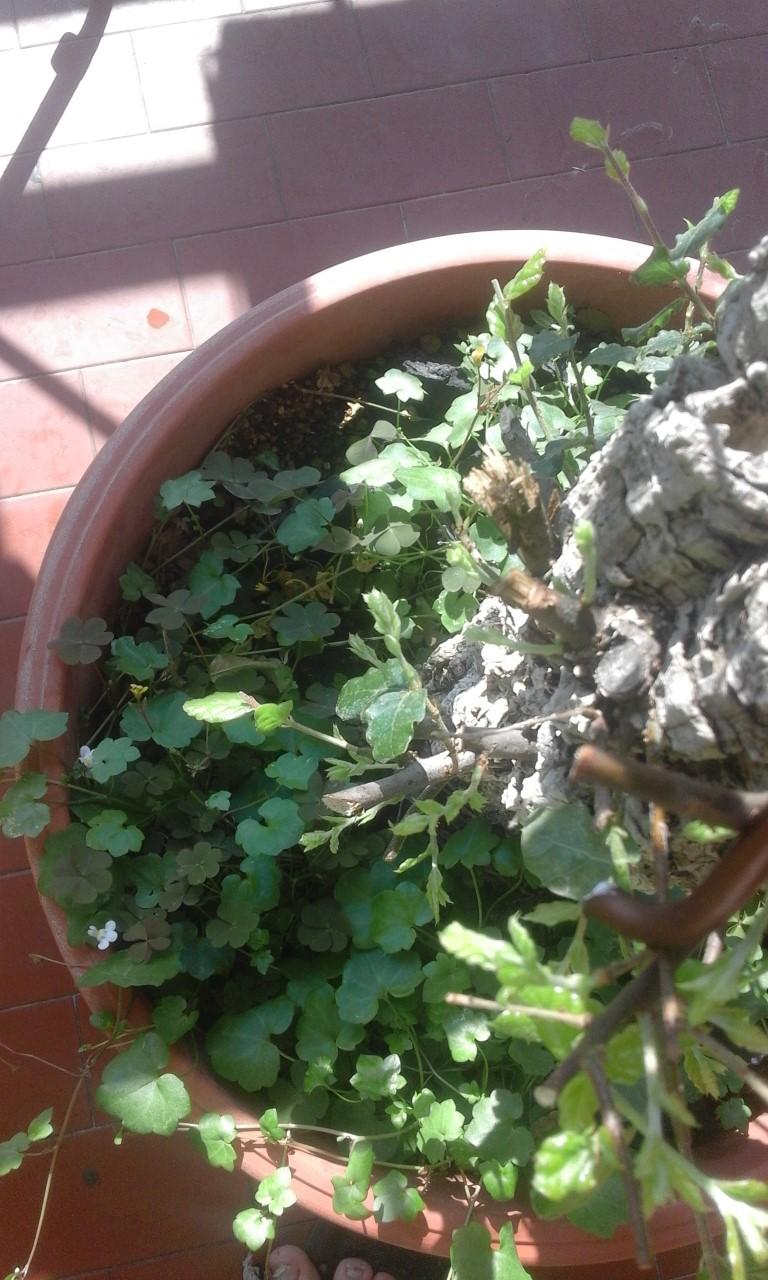Quercus Suber da vivaio Base11