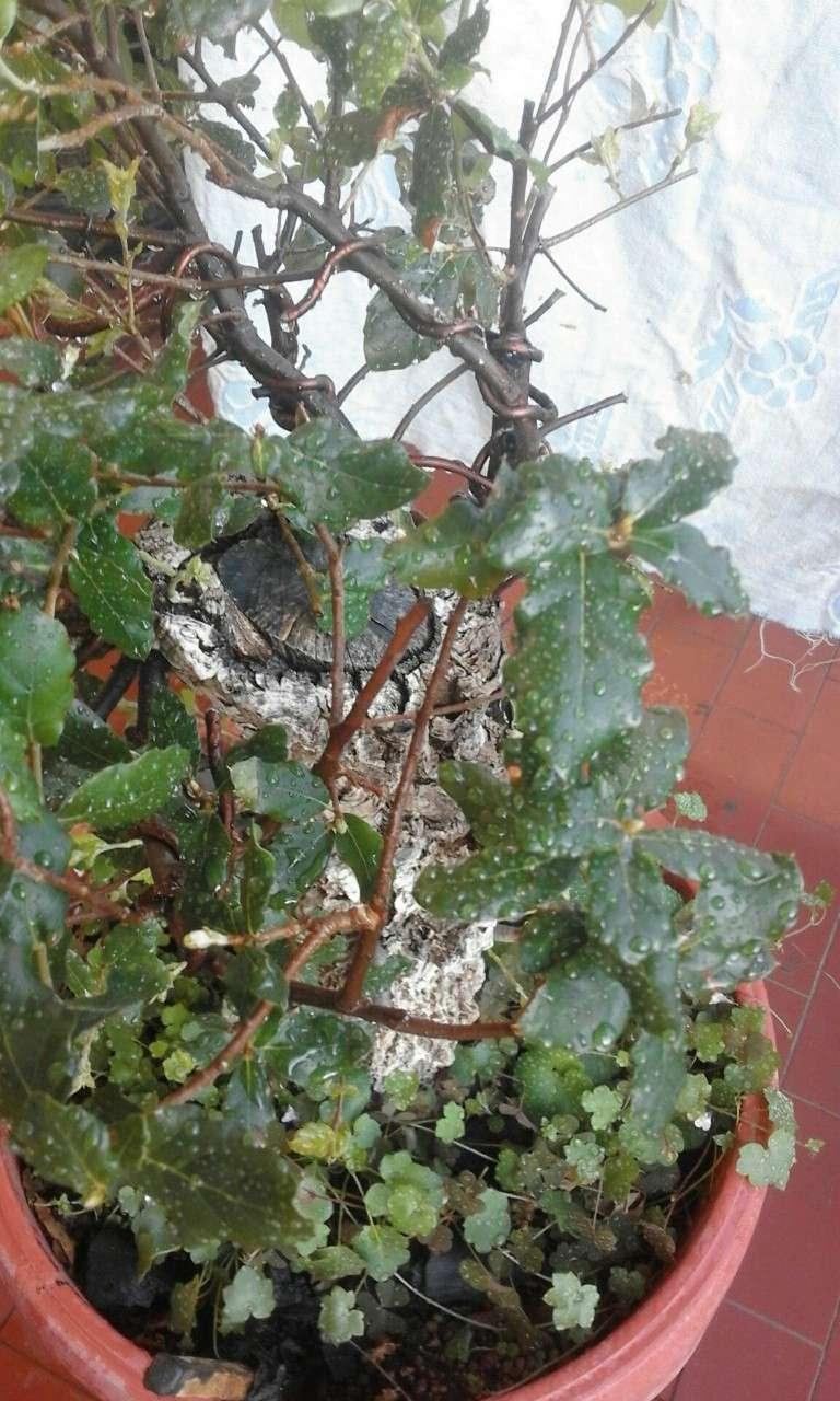 Quercus Suber da vivaio Querci18