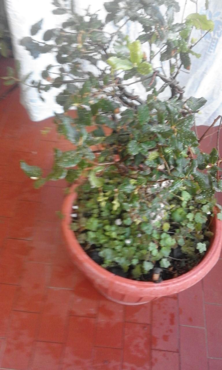 Quercus Suber da vivaio Querci19