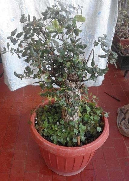 Quercus Suber da vivaio Querci15