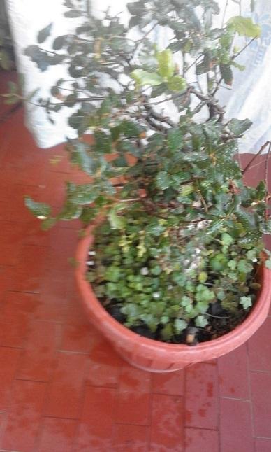 Quercus Suber da vivaio Querci17