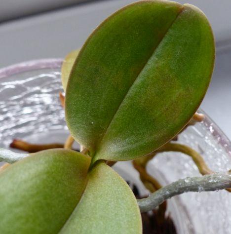 Phalaenopsis haben komische Blätter Orchid11