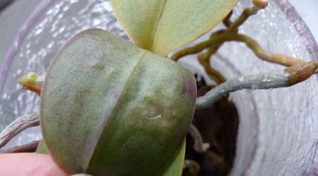 Phalaenopsis haben komische Blätter Orchid14