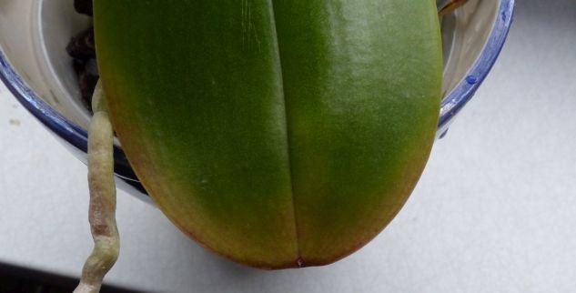 Phalaenopsis haben komische Blätter Orchid15