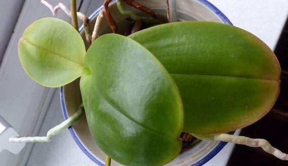 Phalaenopsis haben komische Blätter Orchid16