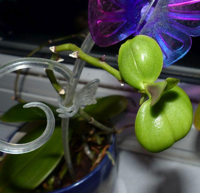 Phalaenopsis Kindel bekommt keine Wurzeln Orchid18