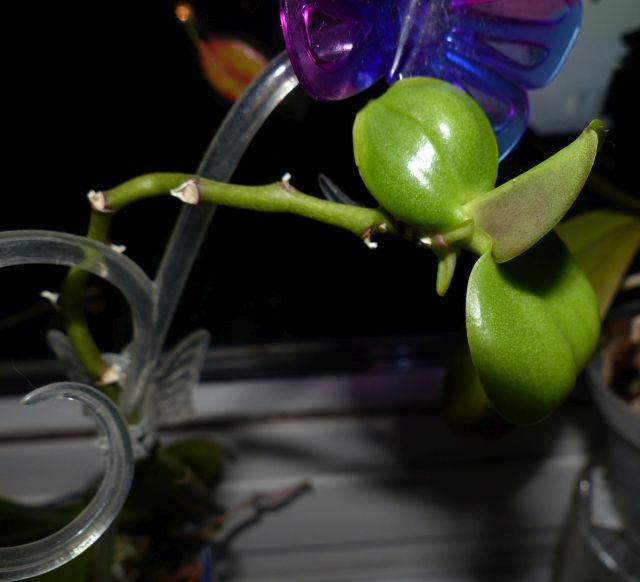Phalaenopsis Kindel bekommt keine Wurzeln Orchid19