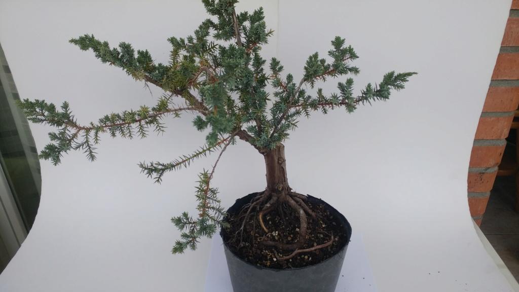 novato pide ayuda para Juniperus chinensis - 'Blue Alps'  20180810