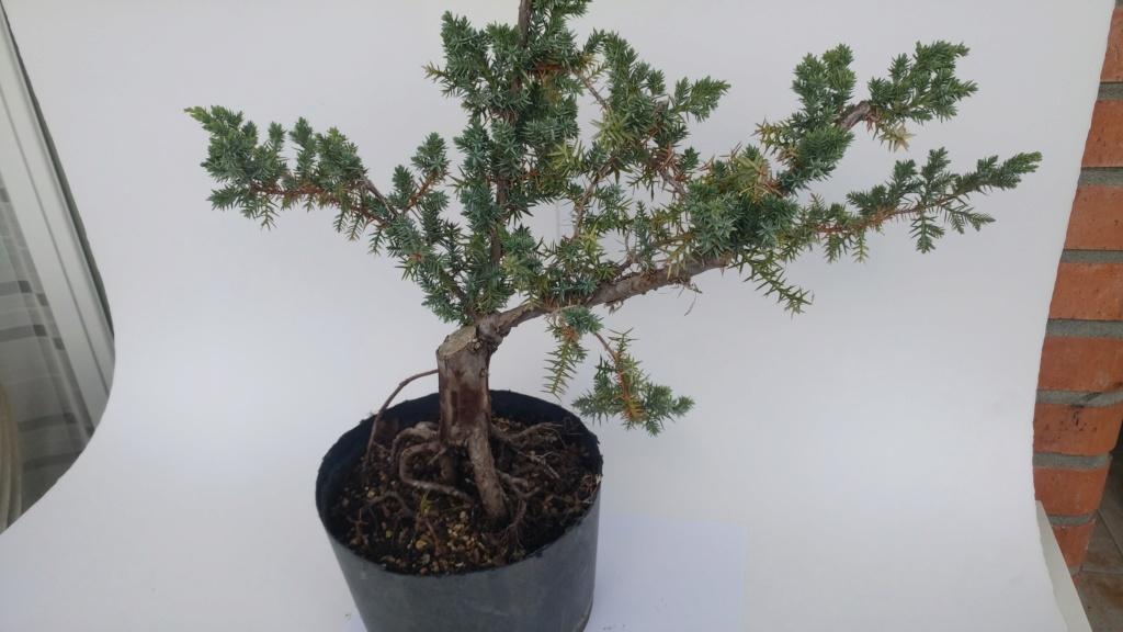 novato pide ayuda para Juniperus chinensis - 'Blue Alps'  20180811