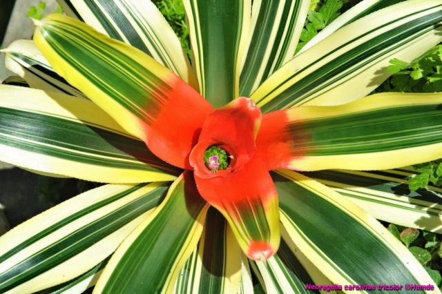 bromélias divers en fleurs actuellement Adsc_111
