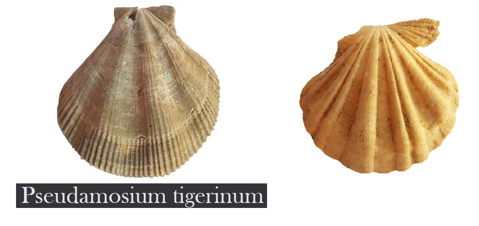 Psedoamussium? A10
