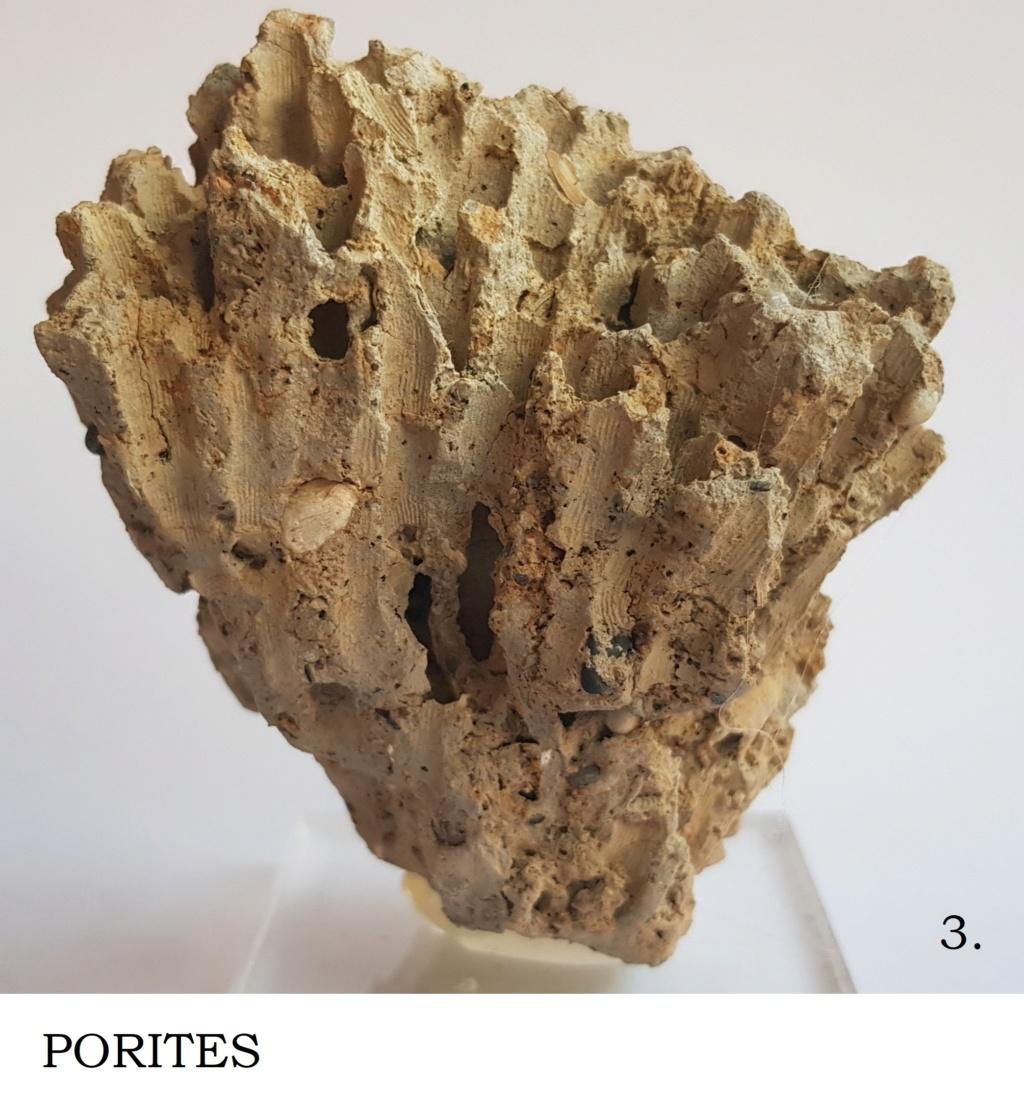 Corales ayuda en Identificacion Porite10