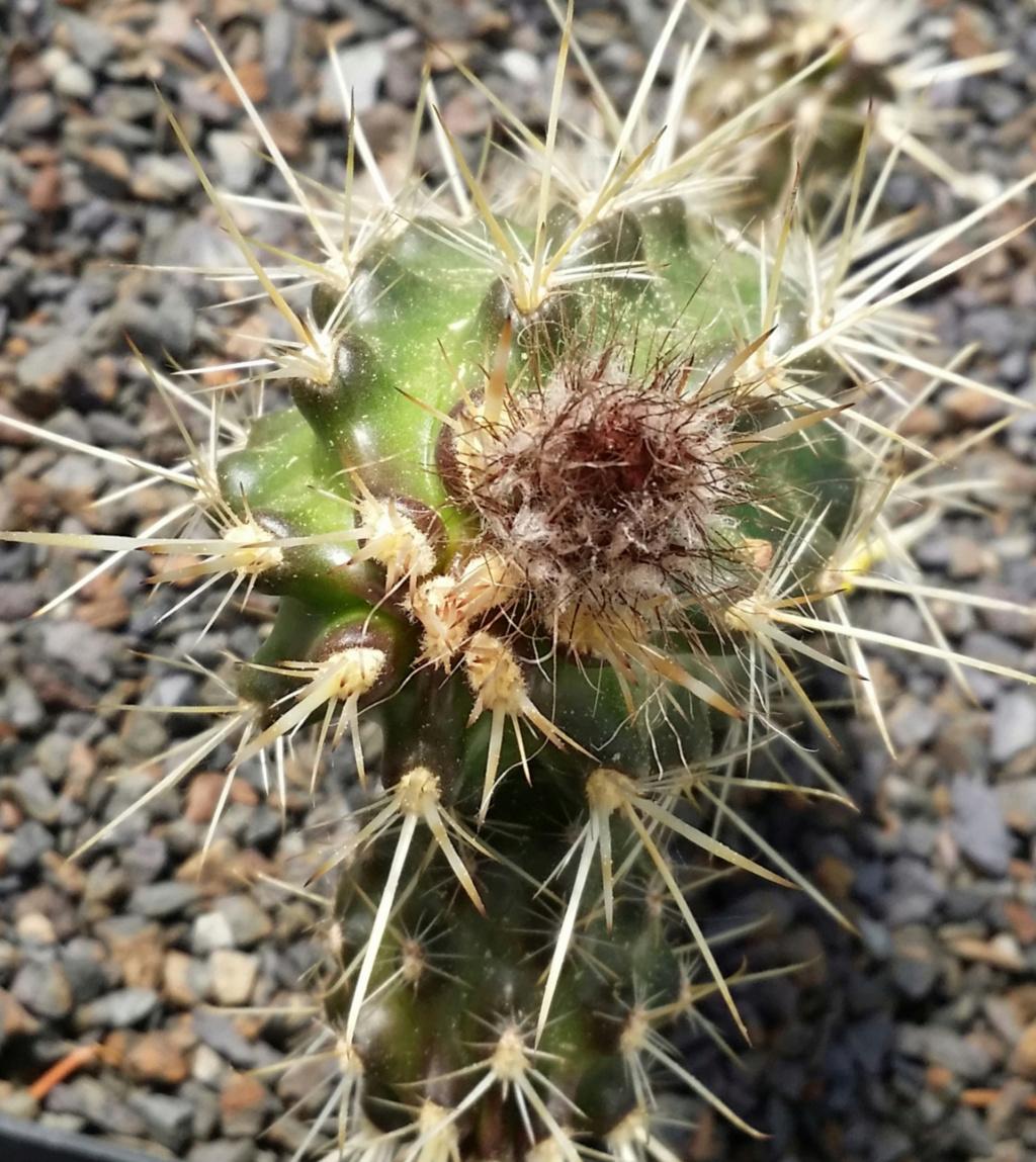 Austrocactus coxii Austro12