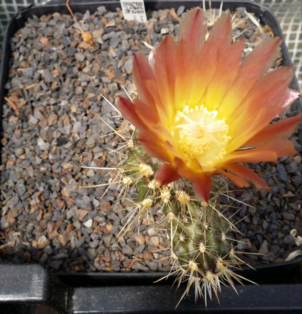 Austrocactus coxii Austro13