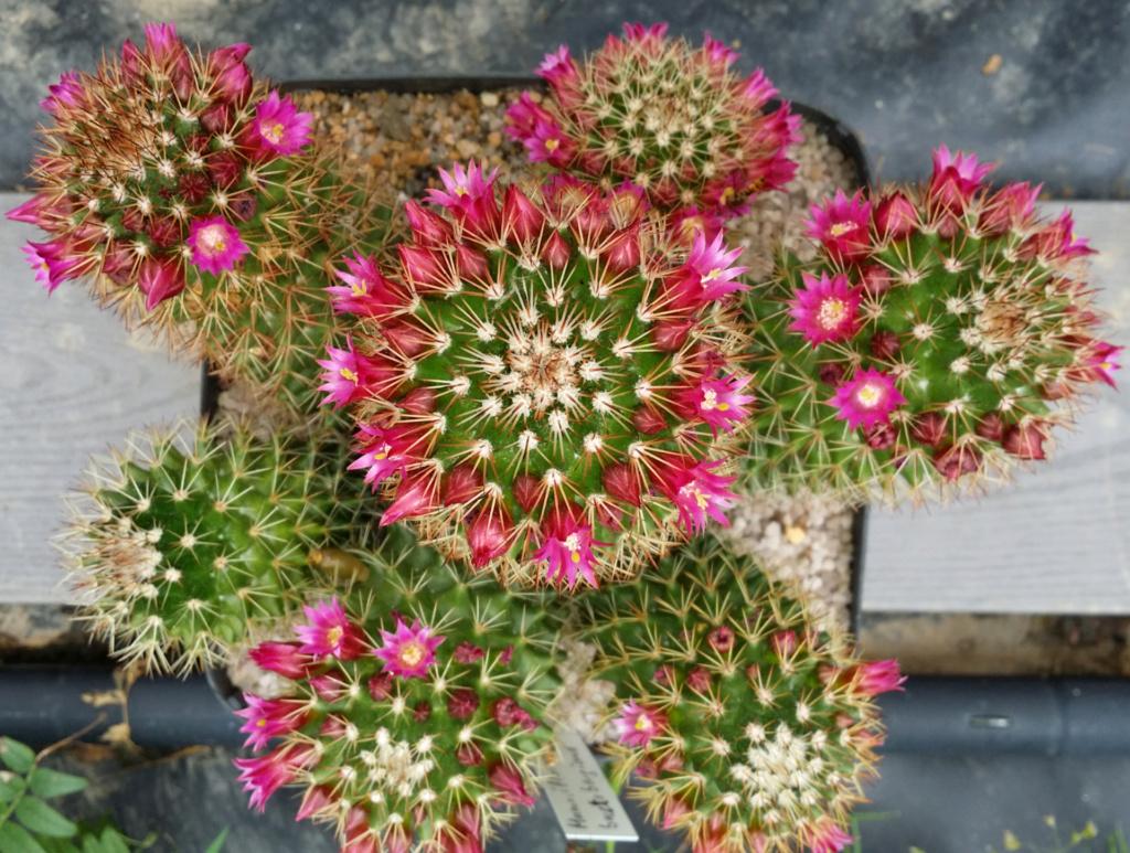 Mammillaria backebergiana Mammil13