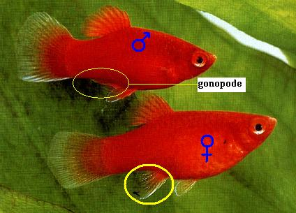 [Fiche] Xiphophorus maculatus - Platy 11553_10