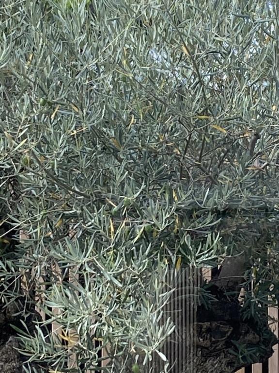 Caída de hojas en olivo ornamental 2aa93710
