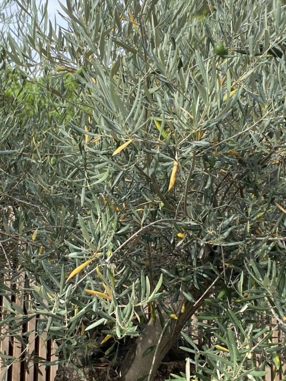 Caída de hojas en olivo ornamental Bbf74910