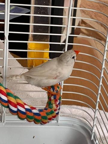 Pincon mandarin qui reste au fond de la cage 16907110