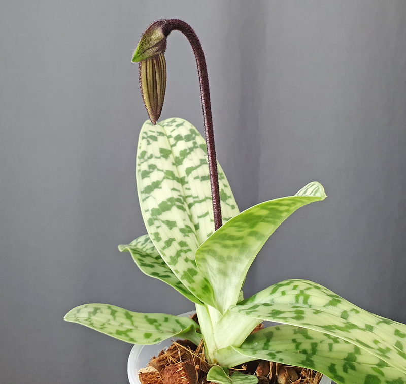 Orchideen Neuzugänge 1_paph11
