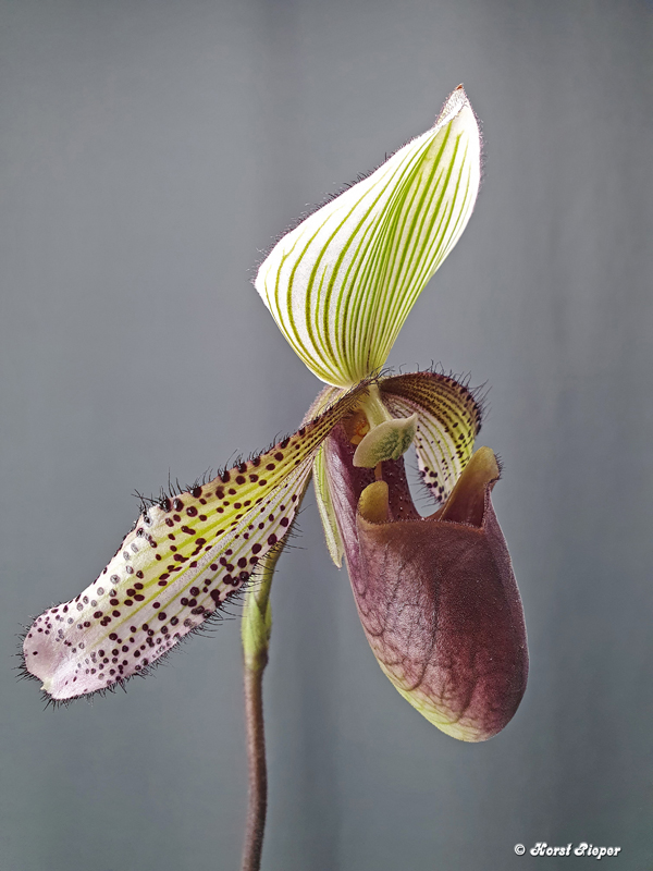 Orchideen Neuzugänge 6_paph11
