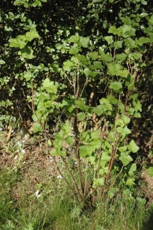Cassis, Ribes nigrum Dsc_9017