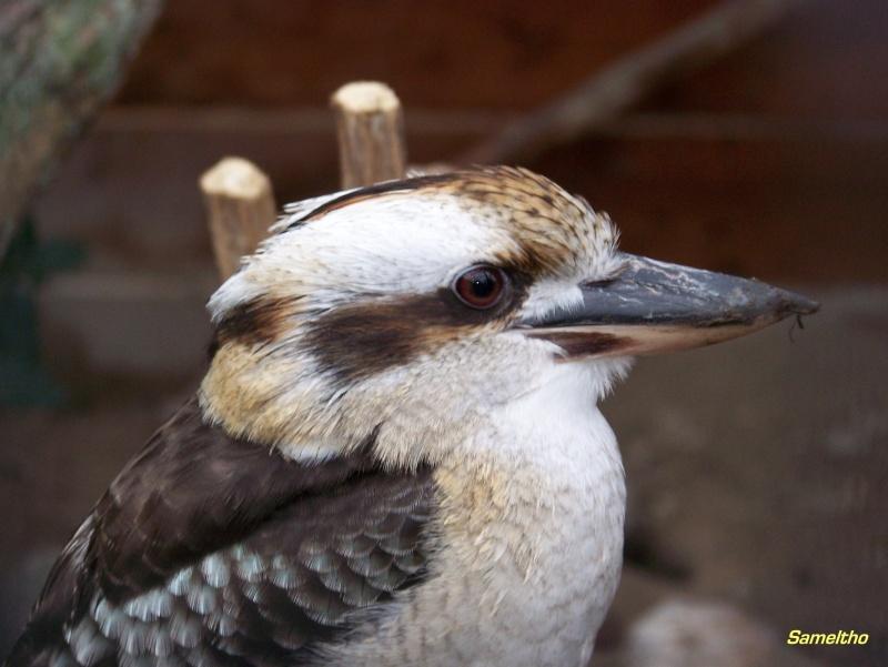 Le kookaburra ( Dacelo novaeguineae ) 101_0111