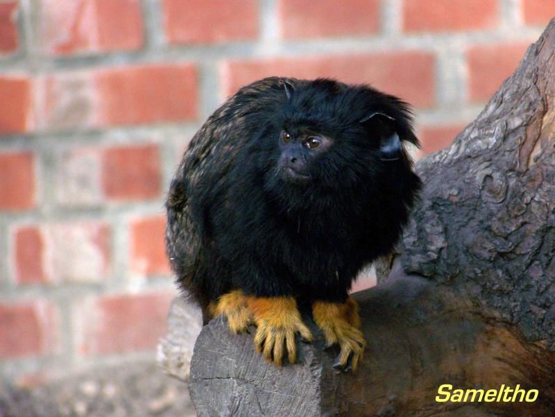 Le tamarin à mains rousses (Saguinus midas) 101_0214