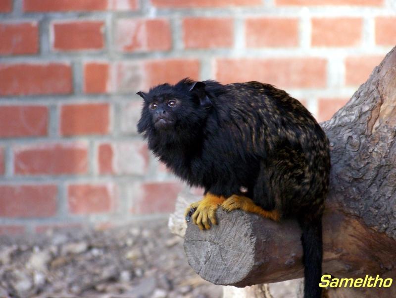 Le tamarin à mains rousses (Saguinus midas) 101_0215