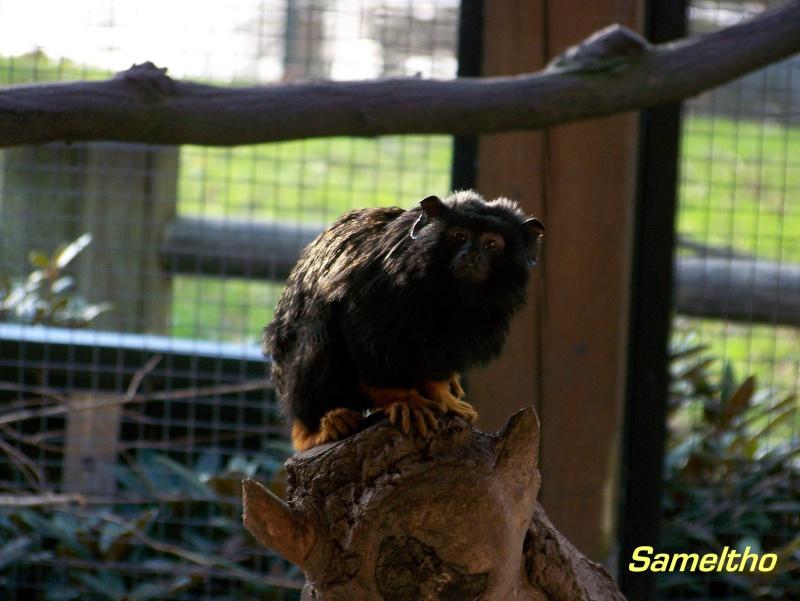 Le tamarin à mains rousses (Saguinus midas) 101_0216