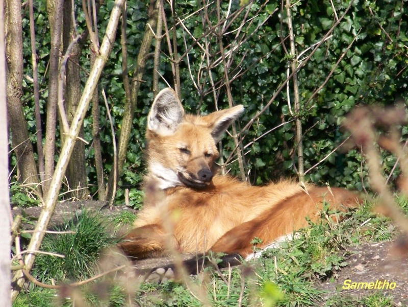 Le loup à criniere (Chrysocyon brachyurus) Zoo_de21
