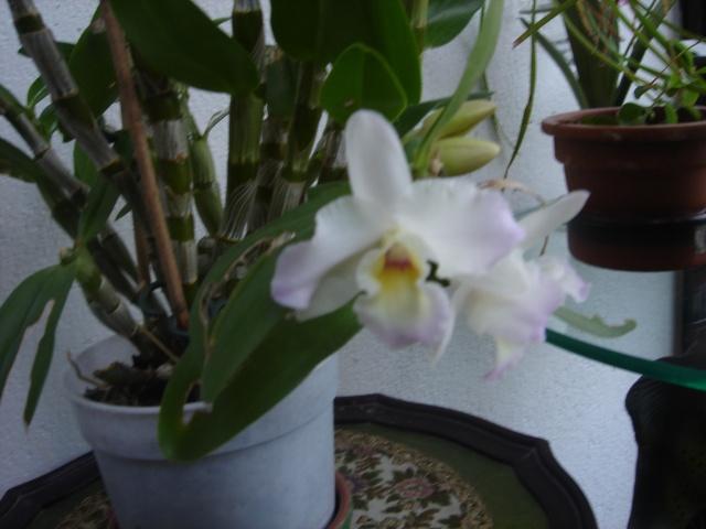 Orchidées Dsc01810