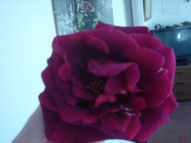 Rosier fleuri Dsc02112