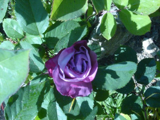Quelques unes de mes roses ... Dsc02114