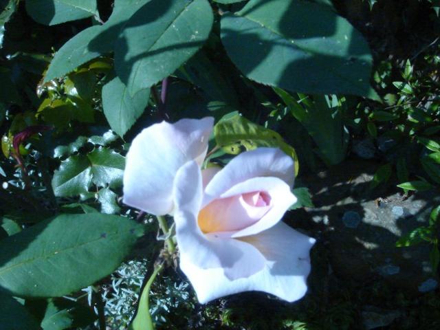 Quelques unes de mes roses ... Dsc02115