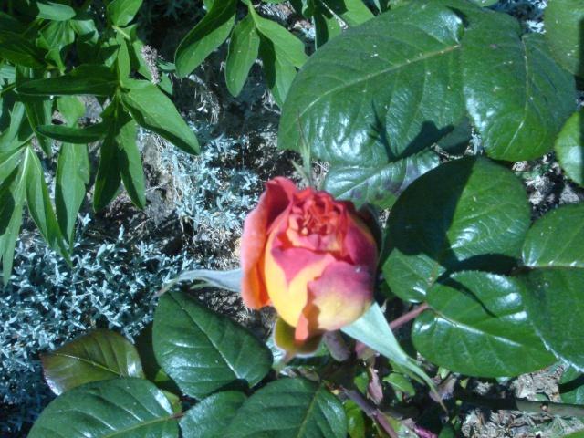 Quelques unes de mes roses ... Dsc02116