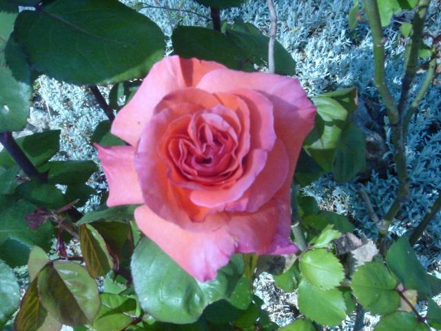 Quelques unes de mes roses ... Dsc02117