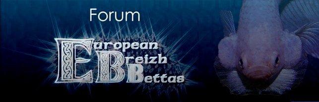 European Breizh Bettas