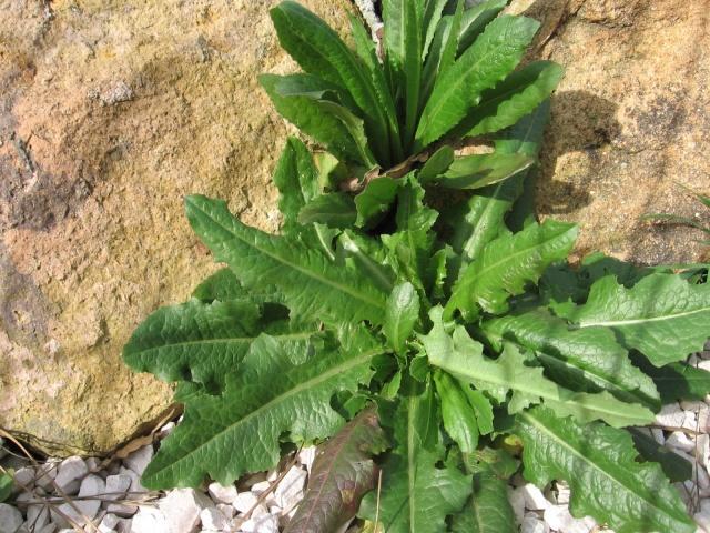 identification plante de mon jardin...(:lactuca seriola) Img_0116
