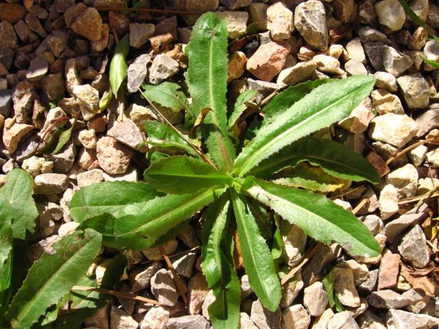 identification plante de mon jardin...(:lactuca seriola) Img_0118