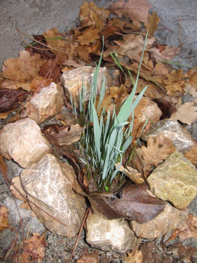 Gladiolus communis subsp. byzantinus Img_0692