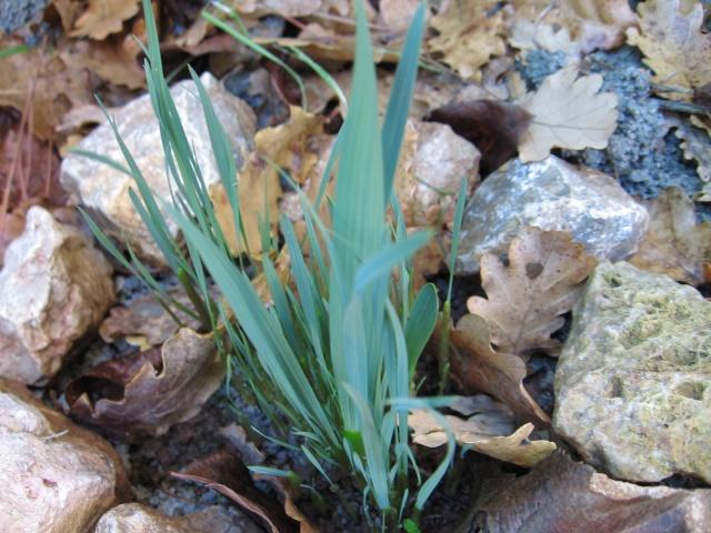 Gladiolus communis subsp. byzantinus Img_0694
