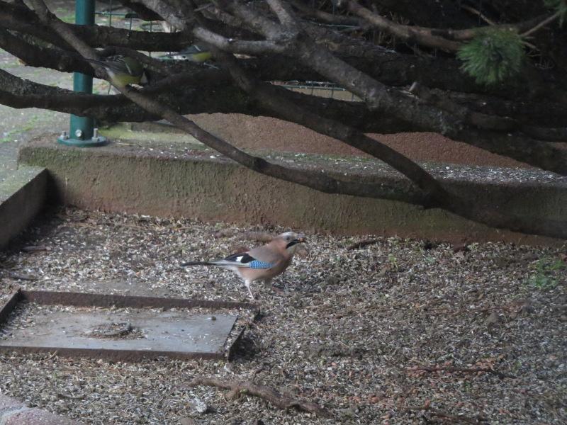 Les oiseaux du jardin 26_gea11