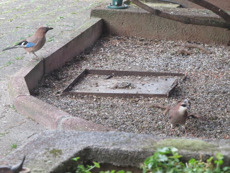 Les oiseaux du jardin 27_22_11