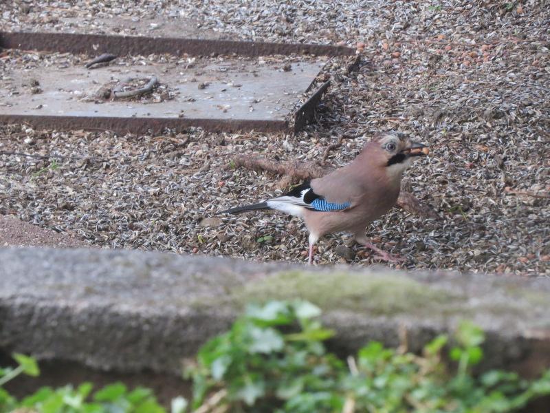 Les oiseaux du jardin 28_22_11